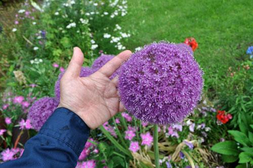 Allium529b_ms