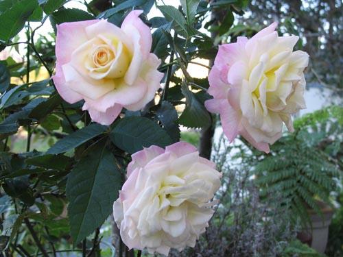 rose1119c