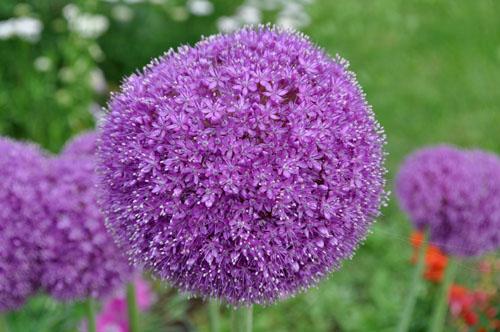 Allium529d_ms_edited-1