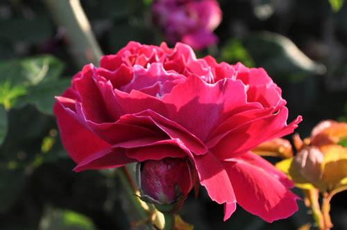 rose521_ms