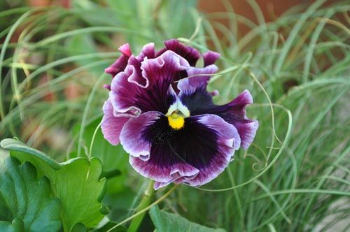 pansy106d_ms