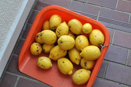 lemon529a_ms