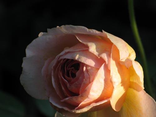 rose629