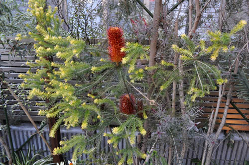 banksia322a_ms