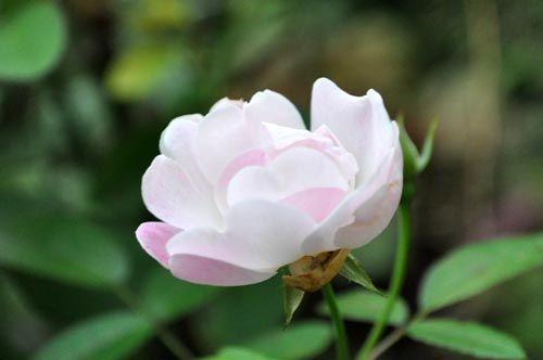 rose1025_ms
