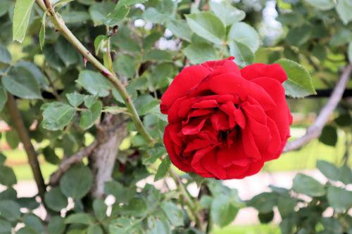 rose619cms