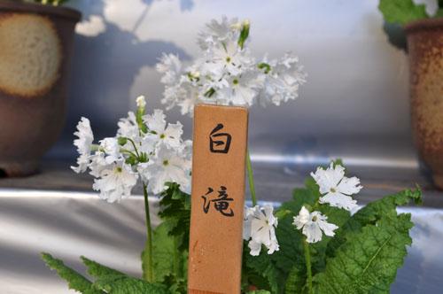 shirotaki415_ms