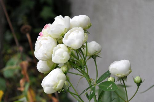 rose1115_ms