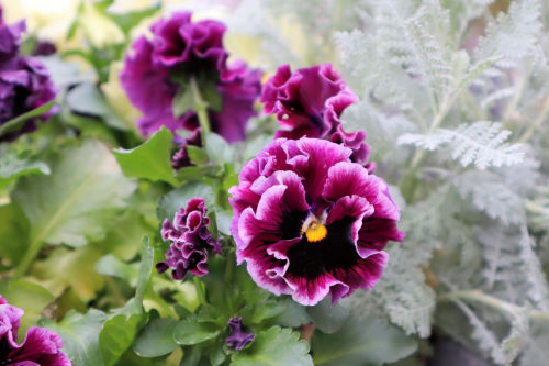 pansy328ms