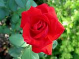 redrose904b