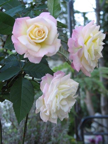rose1119b