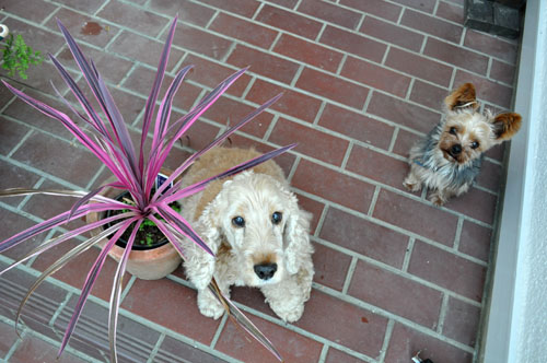 dogs523_ms