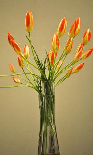 tulip418e_ms