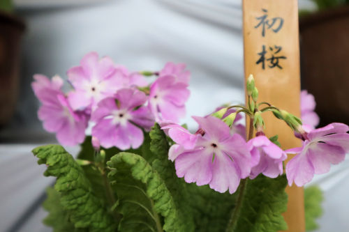 hatuzakura409ms