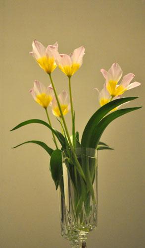 tulip418d_ms