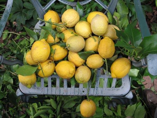 lemon614