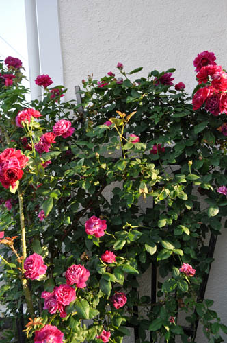 rose521b_ms