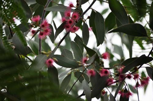 eucalyptus1025a_ms