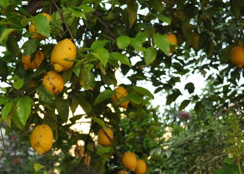 lemon529_mss