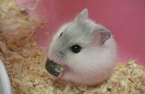 食べるハムスターがかわいい