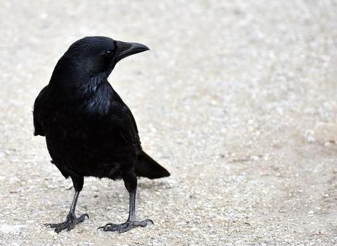 common-raven-3137885_960_720