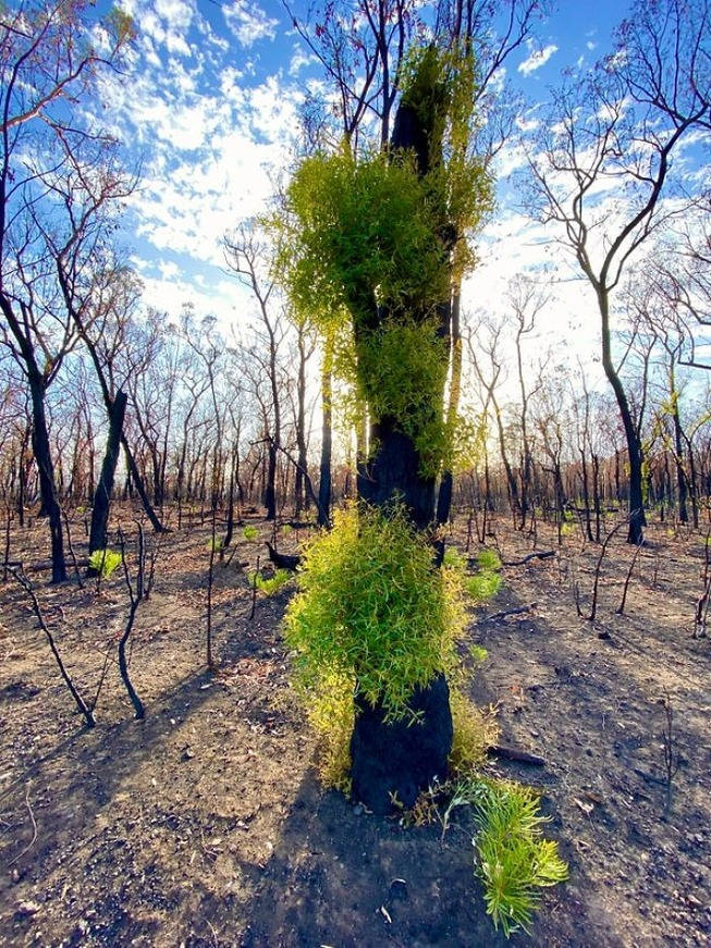 australia-forests-after-wildfires-photo-35-5e314d3f1f378__700