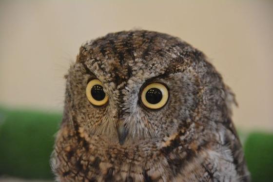 02 - Owl-caf