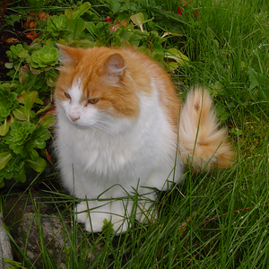 Norwegian_Forest_Cat_in_Norway