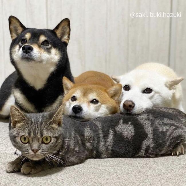 cat-thinks-she-is-dog-saki-ibuki-hazuki-8-5f646d006e8e7__700