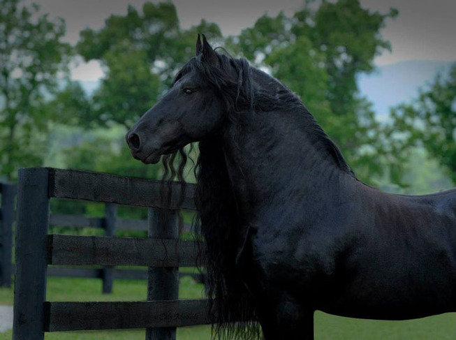 frederik-the-great-friesian-horse-stallion-9-5e96f9c8c01a6__700