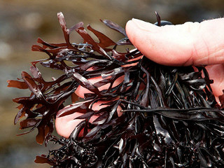 organicseaweed03