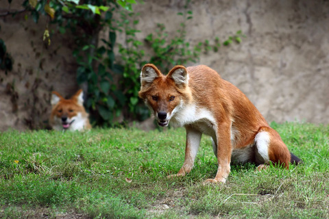 01 - The Dhole