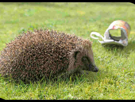 hedgehog-with-can-he-was-released-from