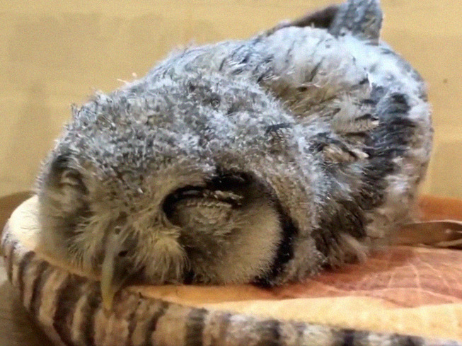 sleeping-baby-owls-face-down-6-5ef2f606943e6__700