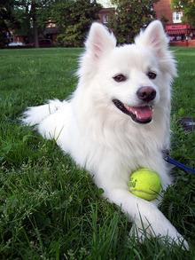 576px-American-Eskimo-dog
