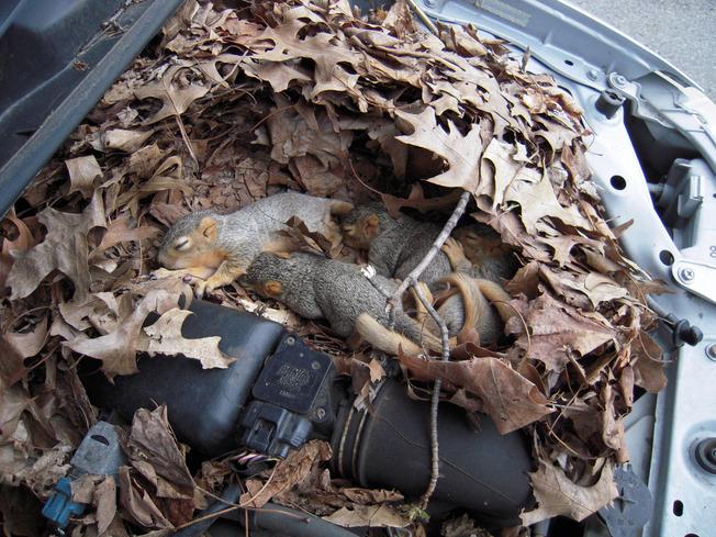 squirrel_nest_in_car