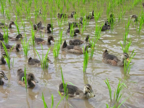 s-duck