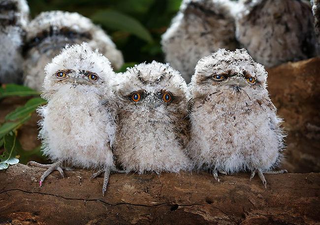 frogmouth-birds-cute-babies-pics-52-5f746eaf2f2ba__700