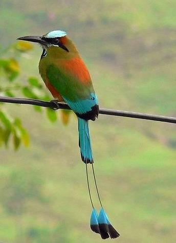 bird-national-bird-of-El-Salvador