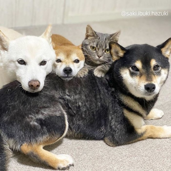 cat-thinks-she-is-dog-saki-ibuki-hazuki-9-5f646d01ce774__700