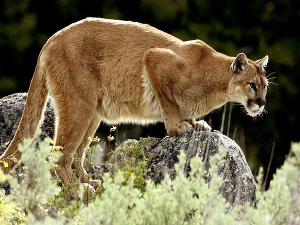 mountain-lion_637_600x450