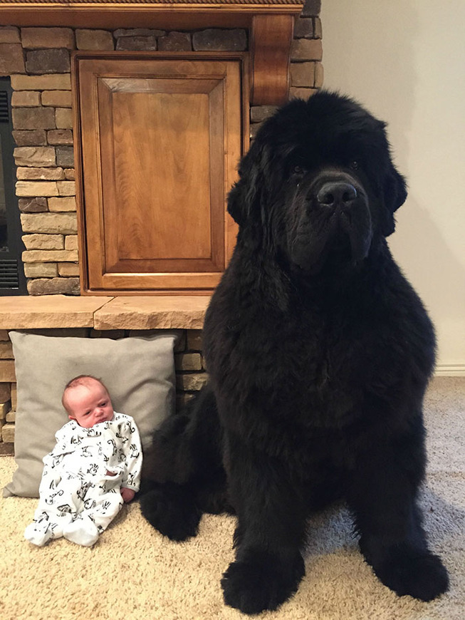 funny-large-dogs-newfoundlands-1-5c5168c7bccde__700