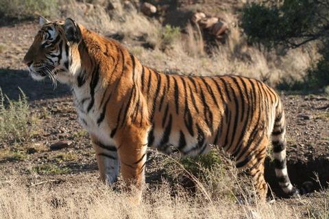 tiger-26