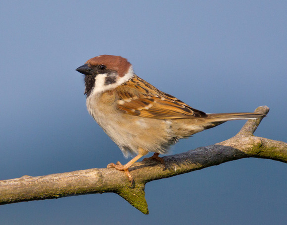 1280px-Tree-Sparrow-2009-16-02