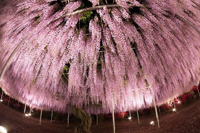 oldest-wisteria-tree-ashikaga-japan-9