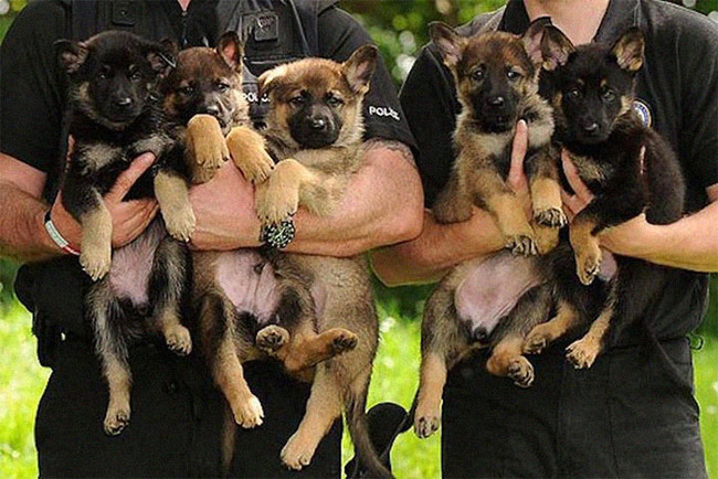 adorable-puppies-police-training-1-5f4758ad54723__700