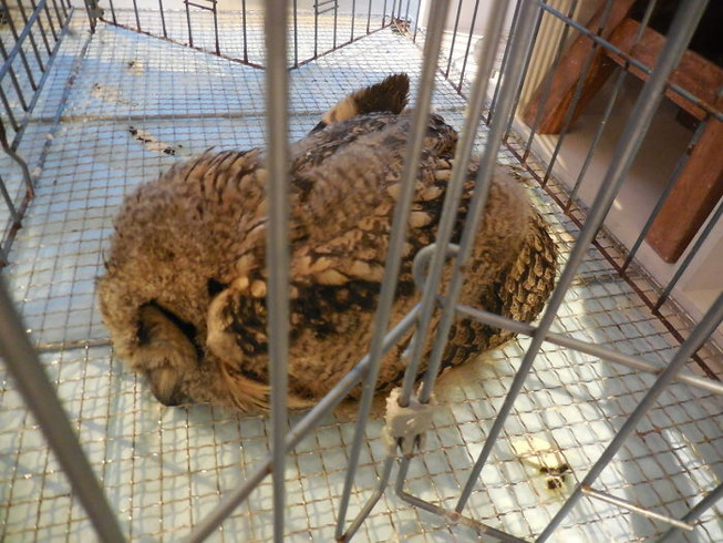 sleeping-baby-owls-face-down-22-5ef2fc585e338__700