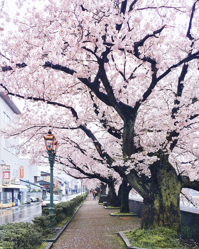 Lost-in-Kyoto-and-the-sakura-blossom-59101a69a2cea__880