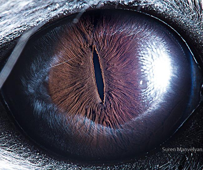 animal-eyes-photography-suren-manvelyan-5-5f4e18e3bfd61__700
