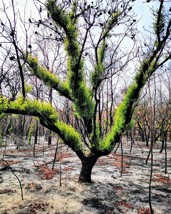 australia-forests-after-wildfires-photo-26-5e314181c5aa9__700